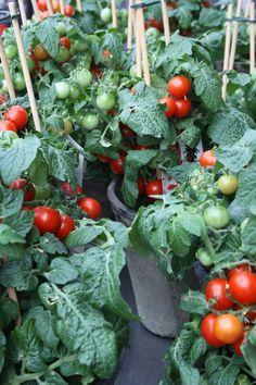 Tomatenpflanzen mit aromatischen Früchten