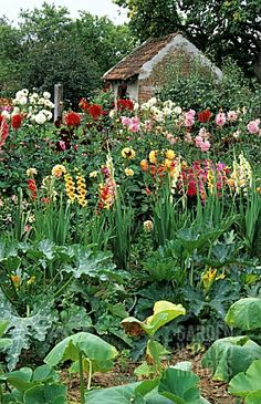 Dahlias and gladiolus for cutting, edge this French vegetable garden. Great idea.