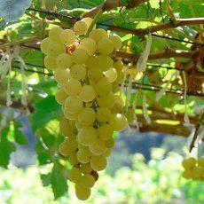 Chenin Blanc Flavors and Aromas - Characteristics of Chenin Blanc Wine Grapes Types Of White Wine, Types Of Wine, Dry White Wine, Chenin Blanc, Wine Flavors, Wine Vineyards, Vitis Vinifera, In Vino Veritas, Sauvignon Blanc