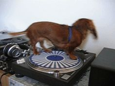 Spinning Doxie