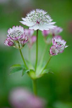 Astrantia major - one of my favourite perennials! Beautiful Flowers, Love Flowers, Planting Flowers, Amazing Flowers, All Flowers, Flowers, Astrantia, Pink Garden, Flower Garden