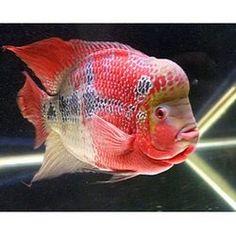 Flower Horn fish — Buy Flower Horn fish, Price , Photo Flower Horn fish, from Vikas Fish Aquarium & Dog Kennel, Company. Aquarium fishes on All.biz New Delhi India