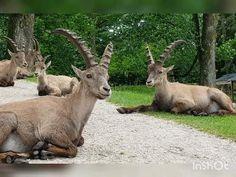 Im Tierpark Rosegg laufen einige Tiere frei im Gelände herum. Bei der Wanderung durch den Park sind wir einer Gruppe Tiere begegnet. Steinböcke gehören zur GattungderZiegen(Capra) benannt:  Alpensteinbock(Capra ibex)  Äthiopischer Steinbock(c. walie)  Iberiensteinbock(C. pyrenaica)  Nubischeroder Syrischer Steinbock (C. nubiana)  Ostkaukasischer Steinbock(C. cylindricornis)  Sibirischer oder Asiatischer Steinbock (C. sibirica)  Westkaukasischer Steinbock(C. caucasica) Labyrinth, Animals Beautiful, Kangaroo, Goats, Park, Lounge Music, Types Of Animals, Ski, Cutest Animals