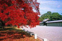 京都御所 Imagen Natural, Political Pictures, Imperial Palace, Autumn Aesthetic, Japanese Pottery, Kyoto Japan, Garden Trees, Japanese Design, Trees And Shrubs