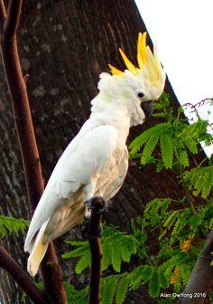 The Wild Parrots of Singapore: