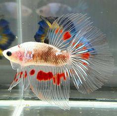 AquaBid.com - HM KOI POINT RED