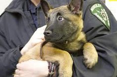 Best police, military and SAR dog out there.so don't preach to me about adopting a mix breed.I love all dogs, but this one I don't consider just a pet. Belgian Shepherd, Shepherd Dog, Most Beautiful Dogs, Beautiful Places, Malinois Shepherd, Pastor Belga Malinois, Belgian Malinois Puppies, K9 Police, Easiest Dogs To Train