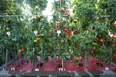 Harry Olson's grafted vegetables