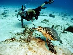 Diving with Hawksbill Turtle in the Caribbean.