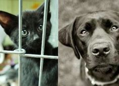 Save Black Dogs and Cats in Shelters From Being Disproportionately Euthanized Animal Shelter, Animal Rescue, Black Dog Syndrome, Dogs And Puppies, Dogs 101, Doggies, Black Animals, Animal Faces, Black Dogs