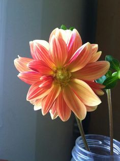 Peony Dahlia ~ orange ~ red ~ yellow
