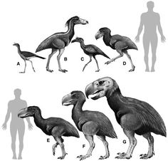 Reconstructions of some phorusrhacids compared to the extant Cariama. From: Living dinosaurs : the evolutionary history of modern birds' edited by Gareth Dyke and Gary Kaiser. Extinct Birds, Extinct Animals, Prehistoric World, Prehistoric Creatures, Dinosaur Fossils, Dinosaur Art, Feathered Dinosaurs, Flightless Bird, Fauna