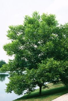 pecan tree carya illinoensis