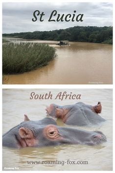 South Africa's St Lucia is renowned for one of the biggest hippo populations. It's worth a visit. #hippo #estuary #SouthAfrica Travel Advice, Travel Guides, Fox Facts, Travel Around The World, Around The Worlds, Wetland Park, Marine Reserves, Countries To Visit, Young Female