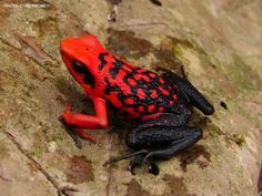 Red and black frog Funny Frogs, Cute Frogs, Black Frog, Green Frog, Amazing Frog, Frog Tattoos, Frog Pictures, Poison Dart Frogs, Paludarium