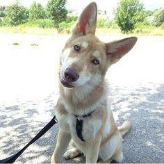 Lumos Solem di Fossombrone - 6 mesi - proprietà: Alessandro Brogi  #Saarloos #CaneLupodiSaarloos #Wolfdog #DiFossombrone