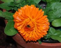 Pacific Beauty Calendula - Seeds are from the Pacific Beauty mix, with large orange and yellow flowers. Pretty, low-growing annual native to Southern Europe that is instantly recognizable by its bright flowers. In addition to its ornamental beauty, calendula has been used for centuries medicinally---usually topically as a skin ointment, and to treat a wide range of skin disorders [click for ordering seeds] flower-fields