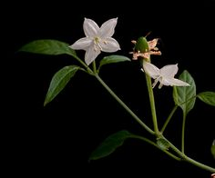 Pepper Flowers, by GroovySuvi