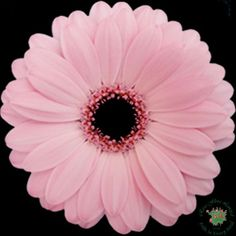 Mini Gerbera - Saga - Gerbera - Flowers and Fillers - Flowers by category | Sierra Flower Finder