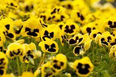pansies Pansies, Spring, Flowers, Plants, Plant, Royal Icing Flowers, Flower, Violets, Florals