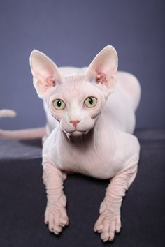 www.beeblebroxsphynx.com  This show photo of a Sphynx (hairless cat) was taken by Helmi Flick. Beeblebrox Sphynx Cattery breeds and sometimes has some kittens available for adoption.    https://www.facebook.com/beeblebroxsphynx