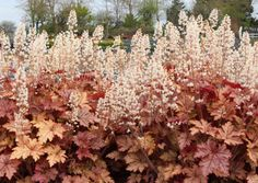 Heucherella 'Honey Rose': Sable colored, deeply incised and lobed foliage is highlighted with dark veins that form an intricate pattern. Young leaves are a warm coral-rose with dark veins as well. Each leaf casually turns a lobe or two adding dimension and interest to this most charming plant.