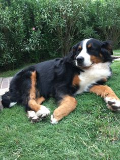 Bernese Mountain, Mountain Dogs, Chase Your Dreams, Cute Baby Animals, Doggies, Cute Babies, Disney, Funny, Cutest Dogs