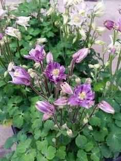 Vackrast just nu...  vi är helt betagna av dessa aquilegiorna! #lillahultsblommor #trädgård #aquilegia