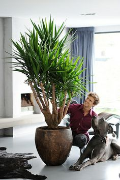 Make a statement with a bold planter for your Yucca Pool Plants, Balcony Plants, House Plants Decor, Big Plants, Green Plants, Plant Decor, Yucca Plant Indoor, Large Indoor Plants, Indoor Trees