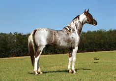 Pinto horse color - in this example, Roan, refers to all large spotted coloring markings called spots, any spotted horse of any breed