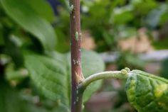 Rapsöl gegen Blattläuse - Natürliches Mittel gegen Blattläuse