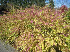 A calicarpa-chinesa, ou também popularmente conhecida como calicarpa, é um arbusto originário da China. É muito procurada por sua floração lilás, além de seus frutos que atraem pássaros. Saiba tudo sobre ela a seguir. Nome botânico: Callicarpa nudiflora Hook. & Arno. Nome #arbustoflorido #arvoresfrutiferas #arvorespequenas #florlilás #florroxa #florvioleta #flores #Jardim #pássaros #policarpachinesa
