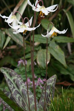 Erythronium oregonum/ giant white fawn lily bulb for light to dappled shade