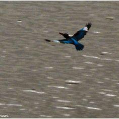 Kingfisher soars