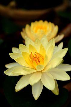 Yellow Lily Lotus