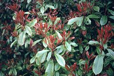 Photinia is a popular evergreen shrub with glossy green leaves, white flowers and young red shoots. The best known of the photinias is Photinia × fraseri 'Red Robin' which is often planted as a specimen shrub or as a fast-growing, dense, evergreen hedge.