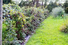 ~Blackberry hedge