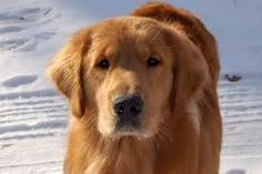red golden retriever puppies - Google Search