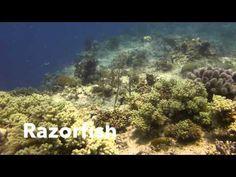 Video Razorfish   Pata Nagra Alona Panglao Bohol Bohol, Scuba Diving, Island, Beach, Painting, Diving, The Beach, Painting Art, Islands