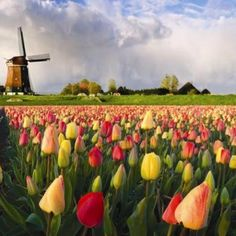 Welcome to Holland - The paradise of Tulips, wooden shoes and windmills! Colorful fields of tulips and a windmill under a cloudy sky in Holland. The Places Youll Go, Places To See, Welcome To Holland, Visit Holland, Dutch Tulip, Tulip Fields, Thinking Day, Parcs, Le Moulin