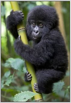 Baby gorilla......the New York Gorilla named Pattycake passed away at age 40. She had 10 children. Seven of those 10 survived. April 8. 2013.