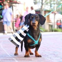 Crusoe the celebrity dachshund — Shopping like a Boss at @thegrovela in LA. ——– tag...