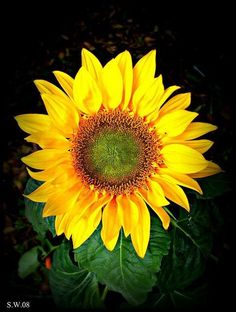 Sunflower for you sweetie muah : )