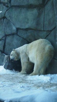 A polar bear at the Como Zoo.
