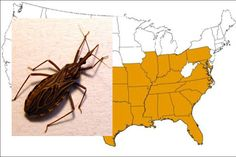 Known as the kissing bug, it feeds on human blood and leaves behind a parasite that causes Chagas disease.