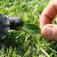 Taronga Zoo's Galapagos baby, the first ever hatched in Australasia