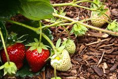 Summer Crops: How to Grow Strawberries -Pluck your own sweet strawberries right from the garden vine for smoothies, salads or eating then and there -by Marianne Lipanovich