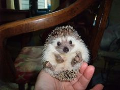 Pygmy Hedgehog. I NEED TO OWN ONE OF THESE.