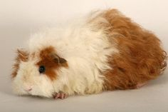 guinea   Texel guinea pigs have long fur that is wavy and quite coarse, the fur ... 4 Granny's little TaterBug