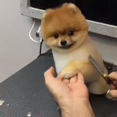 Cute Pomeranian - Pomeranian Haircut - Pomeranian Grooming 😘😘 Credit: ( , Unknown ) [Thank you very much! Pomeranian Haircut, Cute Pomeranian, Pomeranian Teddy Bear Cut, Cute Baby Dogs, Cute Puppies, Dogs And Puppies, Corgi Puppies, Boo Dog, Boo Puppy